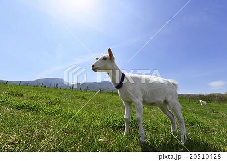 蔵王ハートランドに放牧されている山羊やぎのたくましい姿,春の陽気を感じさせる表情20510428