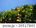 夏みかん ミカン畑 果樹園の写真 20517843