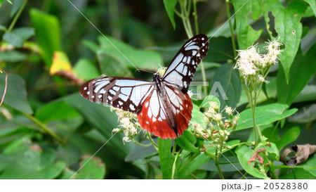 蝶「アサギマダラ」大阪府民の森:大阪府交野市。№2 20528380