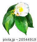白い椿 20544919