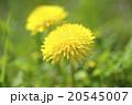 タンポポ 蒲公英 花の写真 20545007