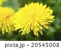タンポポ 蒲公英 花の写真 20545008