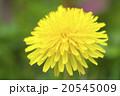 タンポポ 蒲公英 花の写真 20545009