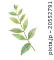 ヘナ ヘンナ 植物のイラスト 20552791