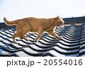 屋根を散歩する野良猫 20554016