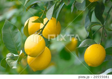 国産レモン栽培 (瀬戸内レモン)-広島県尾道市瀬戸田 20555081