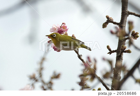 河津桜にとまるメジロ 20558686