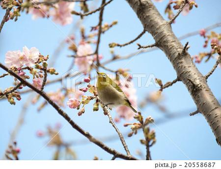 河津桜にとまるメジロ 20558687