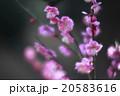 紅梅の満開 20583616