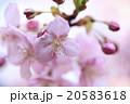 河津桜 20583618