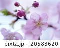 河蚓桜と蕾 20583620
