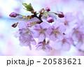 満開の河蚓桜 20583621
