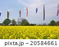 菜の花とこいのぼり 20584661
