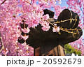 桜 20592679