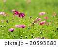 purple cosmos flower field 20593680