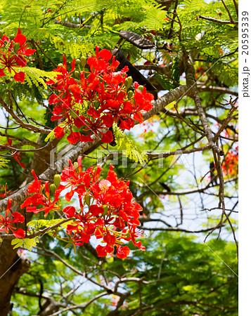 フランボワイヤン(火焔樹)の花 20595339