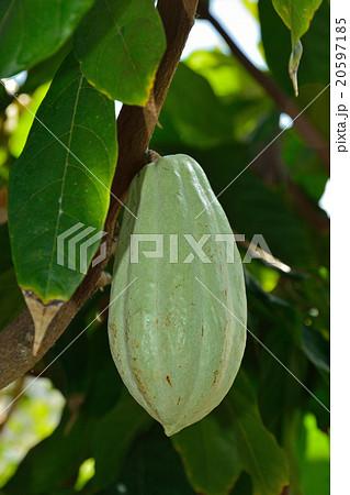 樹木:カカオの木 アオギリ科の...