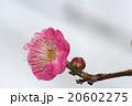 際立つピンク色・梅の花アップ 20602275