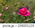 お花 フラワー 咲く花の写真 20603129