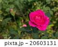 お花 フラワー 咲く花の写真 20603131
