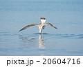 カモメ サカナ ウォーターの写真 20604716