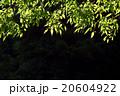 葉 植物 日差しの写真 20604922