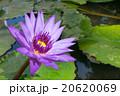 スイレン ロータス フラワーの写真 20620069