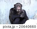 チンパンジー 20640660