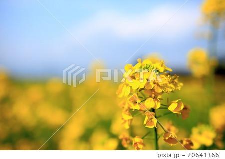 菜の花 アップ 20641366