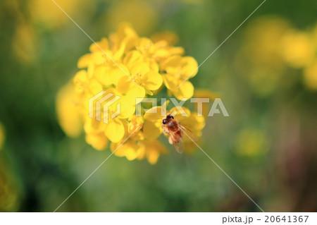 菜の花と蜜蜂 20641367