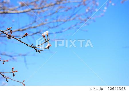 青空と咲きかけの桜 20641368