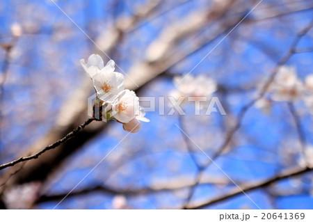 桜 アップ 20641369