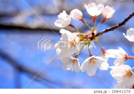 桜 アップ 20641370