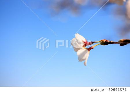 桜の花 20641371
