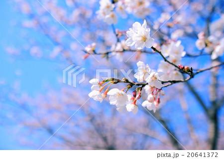 桜 アップ 20641372
