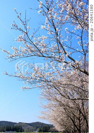 桜並木 20641380