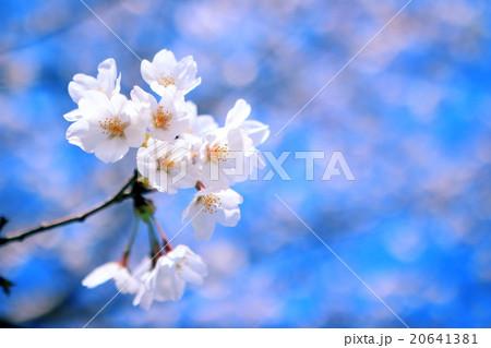 桜 アップ 20641381