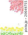 菜の花と桜 20649755