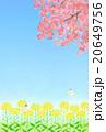菜の花と桜 20649756