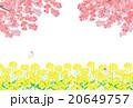 菜の花畑と桜 20649757