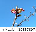 カワヅザクラの蕾が大きくなりました 20657897
