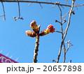 カワヅザクラの蕾が大きくなりました 20657898