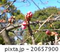カワヅザクラの蕾が大きくなりました 20657900