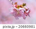 河津桜 桜 カワヅザクラの写真 20660981