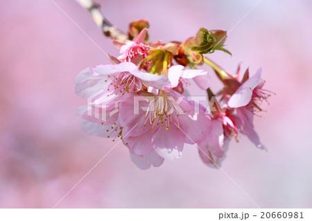 河津桜 20660981