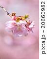 河津桜 桜 カワヅザクラの写真 20660982