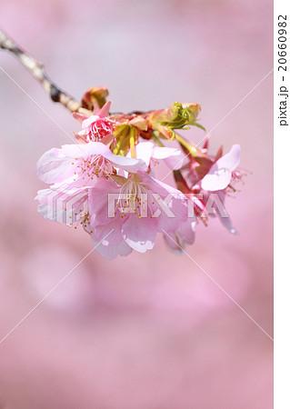 河津桜 20660982