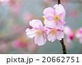 河津桜 20662751