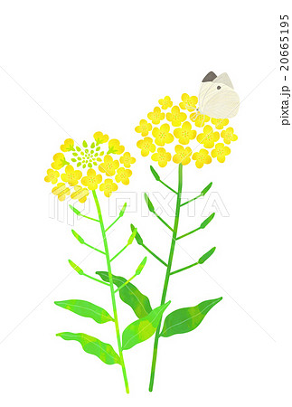 菜の花とちょうちょのイラスト素材 20665195 Pixta