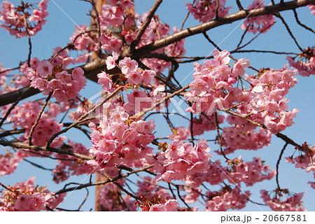 満開の桜(豊顕寺市民の森/神奈川県横浜市神奈川区) 20667581